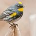yellow-rumped warbler (dendroica coronata auduboni)