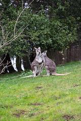 outdoor recreation(0.0), koala(0.0), animal(1.0), woodland(1.0), tree(1.0), marsupial(1.0), mammal(1.0), kangaroo(1.0), fauna(1.0), wildlife(1.0),