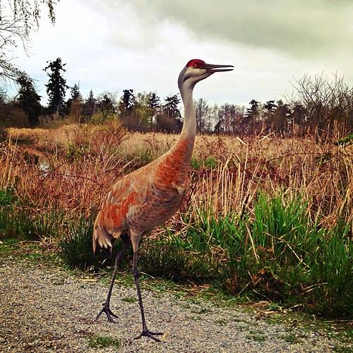 #van4life #vancouver #beautifulvancouver #beautifulbritishcolumbia #georgecreifelmigratorybirdsanctuary #ladnerbirdsanctuary