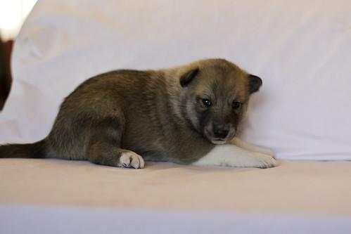 Ike-Kilbe-Pup4-Male(Day 22)-2
