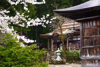 桜と雪@白川八幡神社。