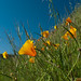Day 21 - Wildflowers in spring and the California Poppy center stage.