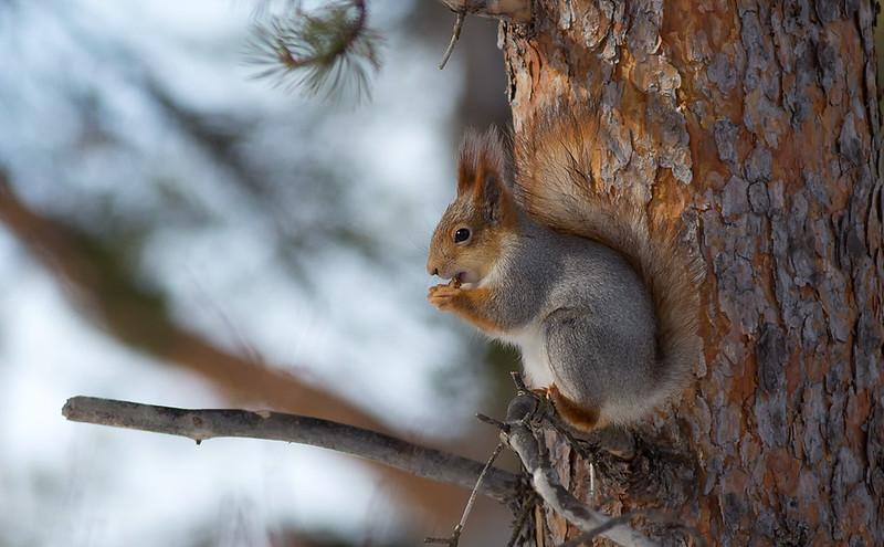 """""""Northern"""" Red Squirrel - note the grey and red, but unmistakable tufts"""