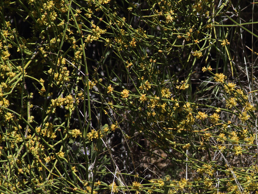 Ephedra viridis | NatureShutterbug | Flickr