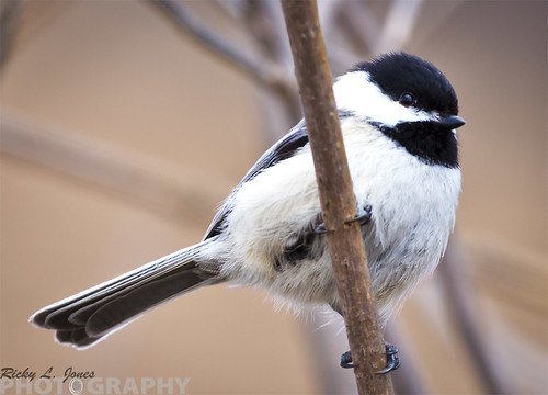 Black-capped Chickadee by Ricky L. Jones Photography
