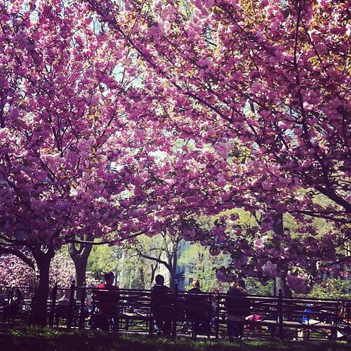 Körsbärsblommorna vid Union Square skvallrar om en fin dag i Brooklyn Botanical Garden om några dagar!