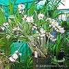 ... Dendrobium Delicatum, a cross between two of Australia's finest species - Dendrobium speciosum and Dendrobium kingianum. It is one very floriferous, temperature tolerant, variety. The flowers on this one are white with a hint of purple pink towards th
