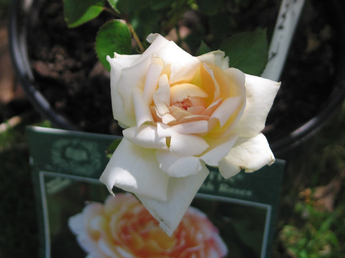 "David Austin English Rose ""Tamora."" by Leenechan"