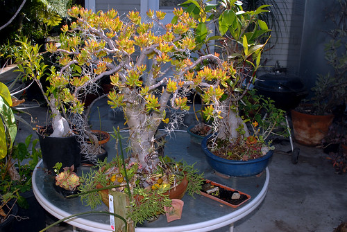 Epiphytes on Crassula