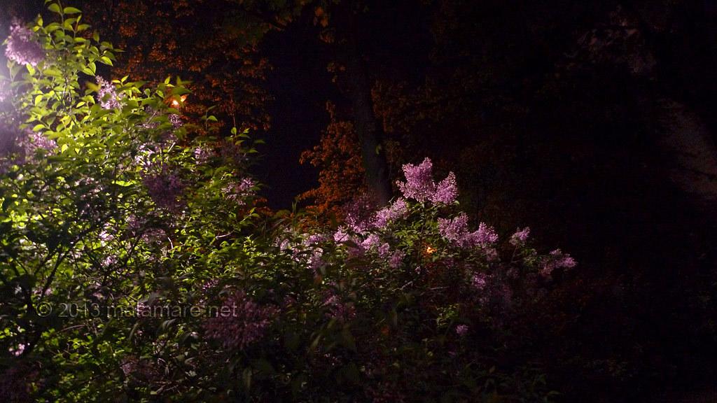 Vienna lilacs