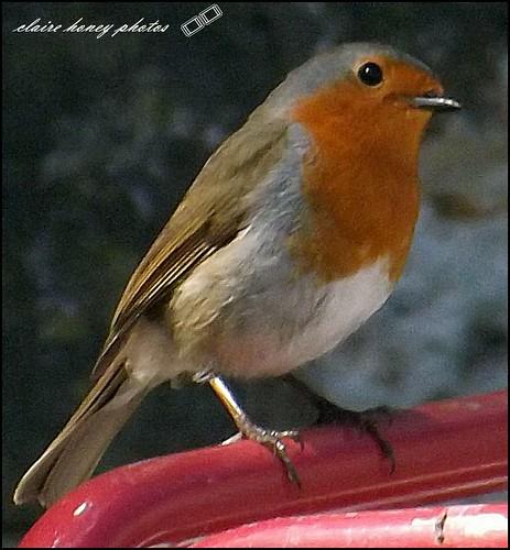 rockin Robin by frenchmum