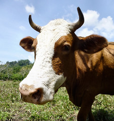 Brown and white cow.  Vaca marrón y blanca. by ltimothy
