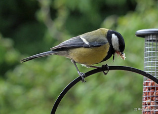 Great Tit & a sticky situation