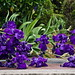 Dutch Iris Dark Blue