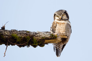 Northern Hawk Owl | by USFWSAlaska