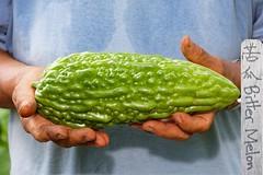 Harvest of a Bitter Melon Fruit