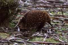 echidna, animal, porcupine, nature, monotreme, fauna, wildlife,