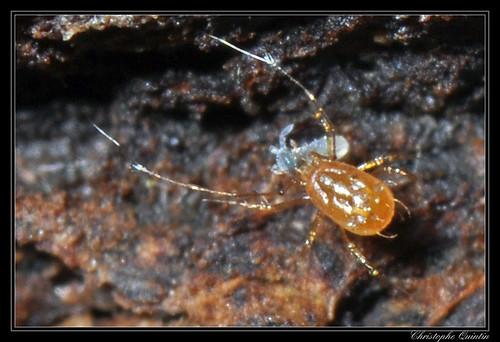 A red mite (Mesostigmata) captured a collembola (Folsomia sp.)