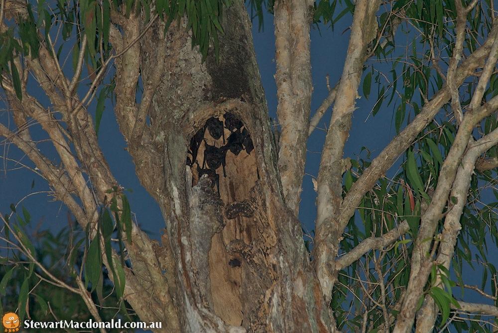 Bare-rumped sheathtail bats (Saccolaimus saccolaimus)