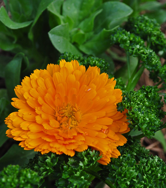 Calendula officinalis 'Costa Orange'