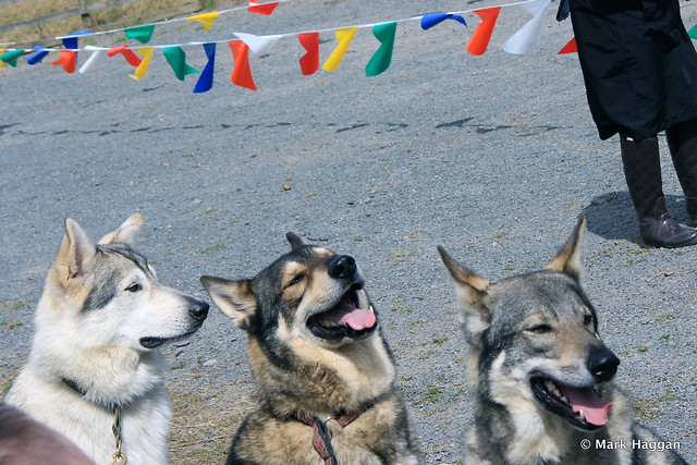A collection of huskies