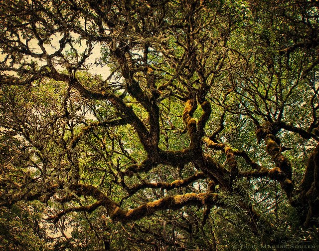 A majestic California oak with twisted mossy branches catches the golden sunlight filtering through its canopy.