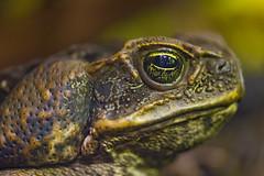 Big dark toad