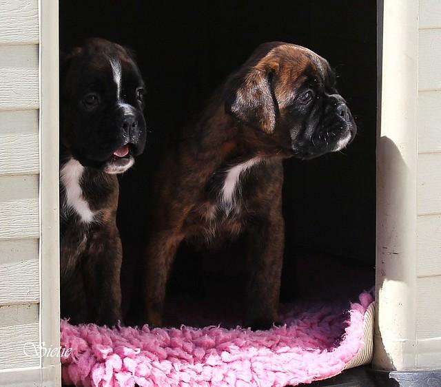 pups Mila Cartier 6 weken voor het eerst buiten