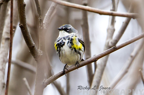 Yellow-rumped Warbler by Ricky L. Jones Photography