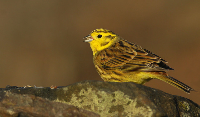 Yellowhammer- He of the Seed
