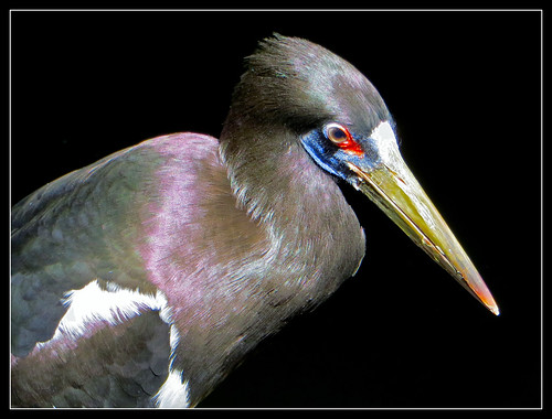 Abdim's Stork by Pat L.314