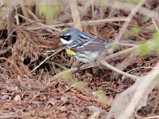 Yellow-rumped Warbler 20130425