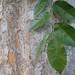 Garden Inventory: Chinese Elm (Ulmus parvifolia) - 03