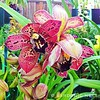 ... Cymbidium Pinata 'SanBar Black Hole' JC/AOS, a cross between Cymbidium Tethys and Cymbidium Khyber Pass. The biggest and the best of the Pinatas. Spectacular salmon pink flowers, with some yellow undertone, that's five inches across, with blood red sp