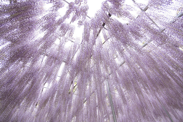 Wisteria, Shower Grand