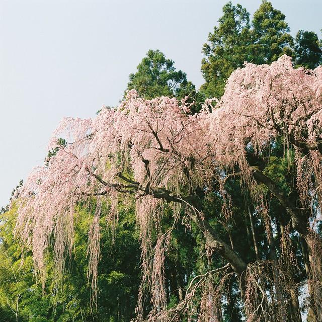 [url=https://www.flickr.com/photos/... 三春 桜 Miha