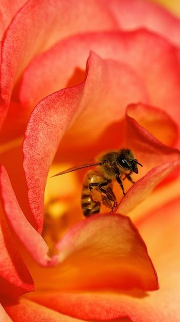 Bee Rosas