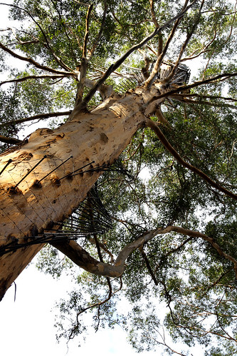 Pemberton - Gloucester Tree - Yet Another View