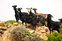 goatherd(0.0), mustang horse(0.0), cattle(0.0), yak(0.0), cattle-like mammal(1.0), animal(1.0), mammal(1.0), goats(1.0), herd(1.0), domestic goat(1.0), fauna(1.0), pasture(1.0), wildlife(1.0),