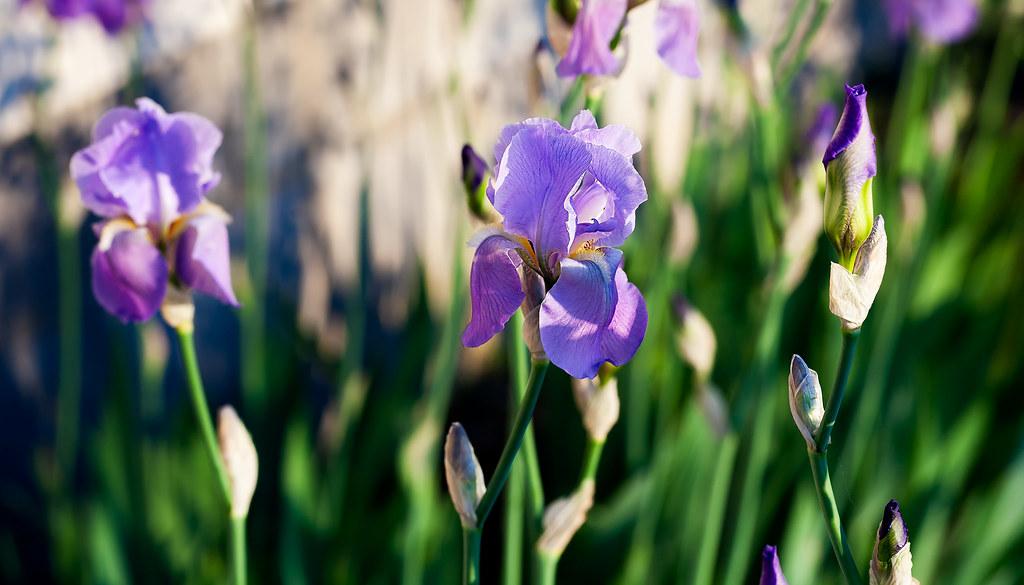 Iris emerging