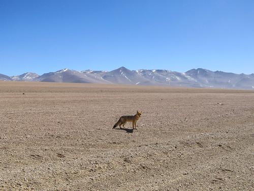 Le Sud Lipez: un renard des sables