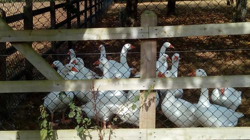 Fairlawne geese