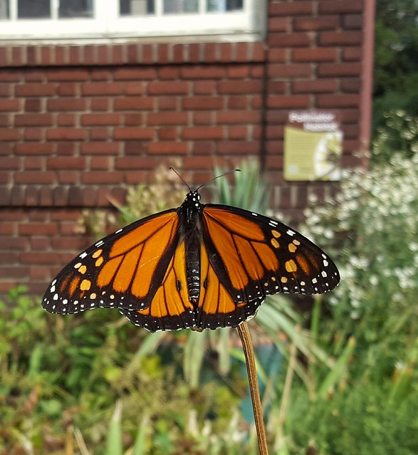 Danaus plexippus, monarch butterfly (male), with @XercesSociety Pollinator Habitat sign behind, in my front yard, September 2016