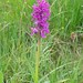 Northern Marsh Orchid (Dave Shute)
