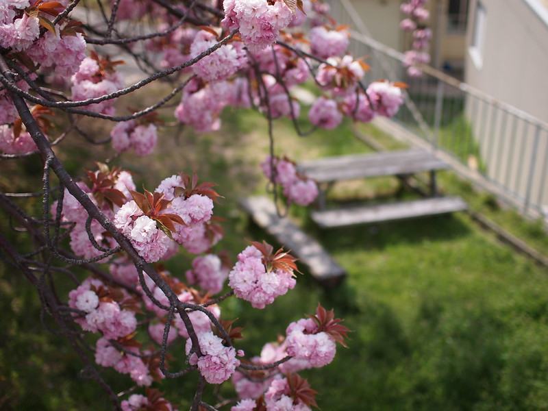 Yaezakura, 八重桜, Double Cherry Blossoms