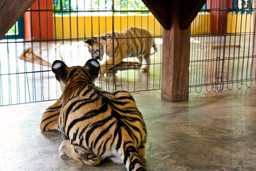 i want to play too! (the baby tigers were separated by age)