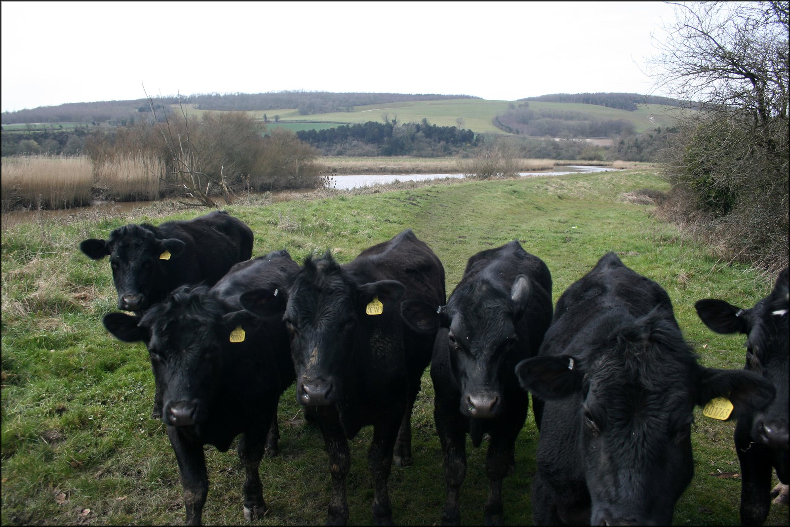 Cows near Burpham