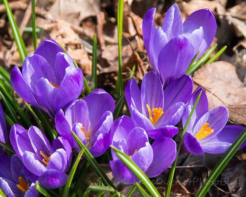 紫色のクロッカスの花