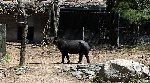 Tapir at the Bergen County Zoo.