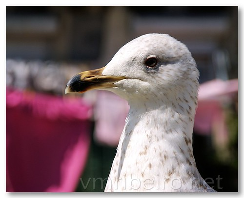 Seagul portrait by VRfoto